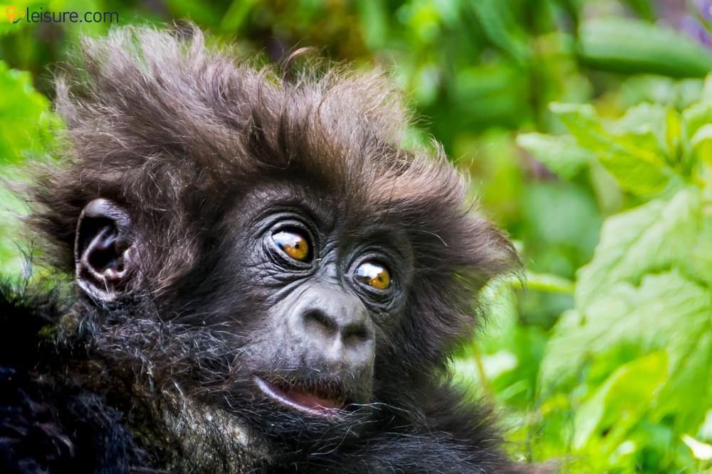 An 8-day Rwanda Safari Tour Package: Gorillas and Chimpanzees