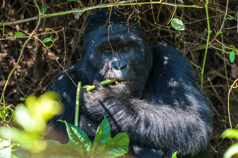 Enjoy Gorilla Trekking via 8-Day Uganda Safari Tour