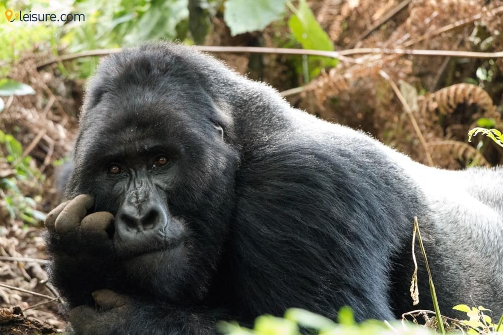 Ultimate Gorilla Trekking to Spot the Remarkable & Rare Primates of Rwanda