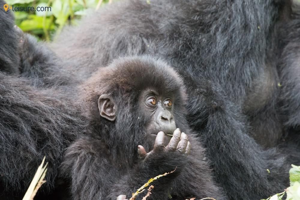 6-Day Gorilla Trekking in Rwanda to Give You Moments of Life
