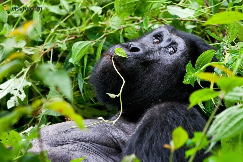Memorable Gorilla Trekking Tours In Bwindi National Park, Uganda