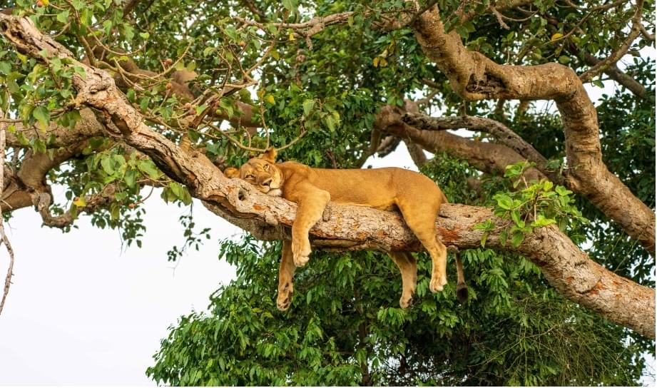 The Perfect Uganda Safari Tour for Travelers