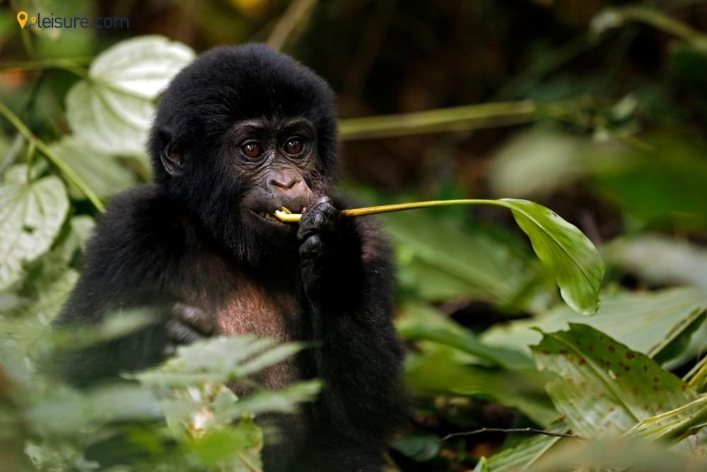 gorilla bbb