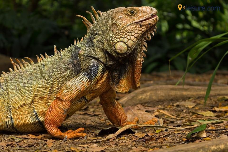 iguana 654