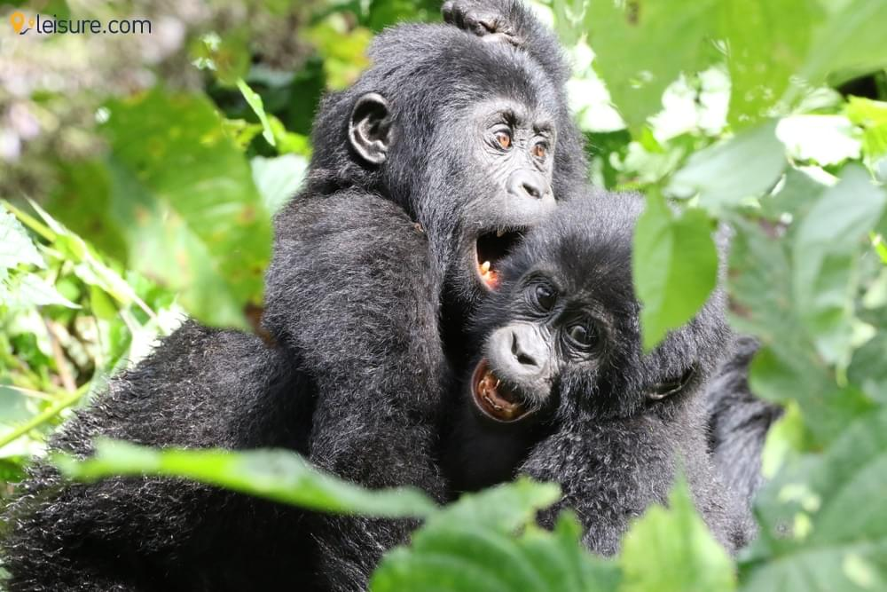 Gorillas and Chimpanzees d