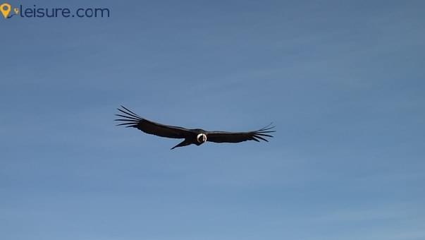 Condor 588