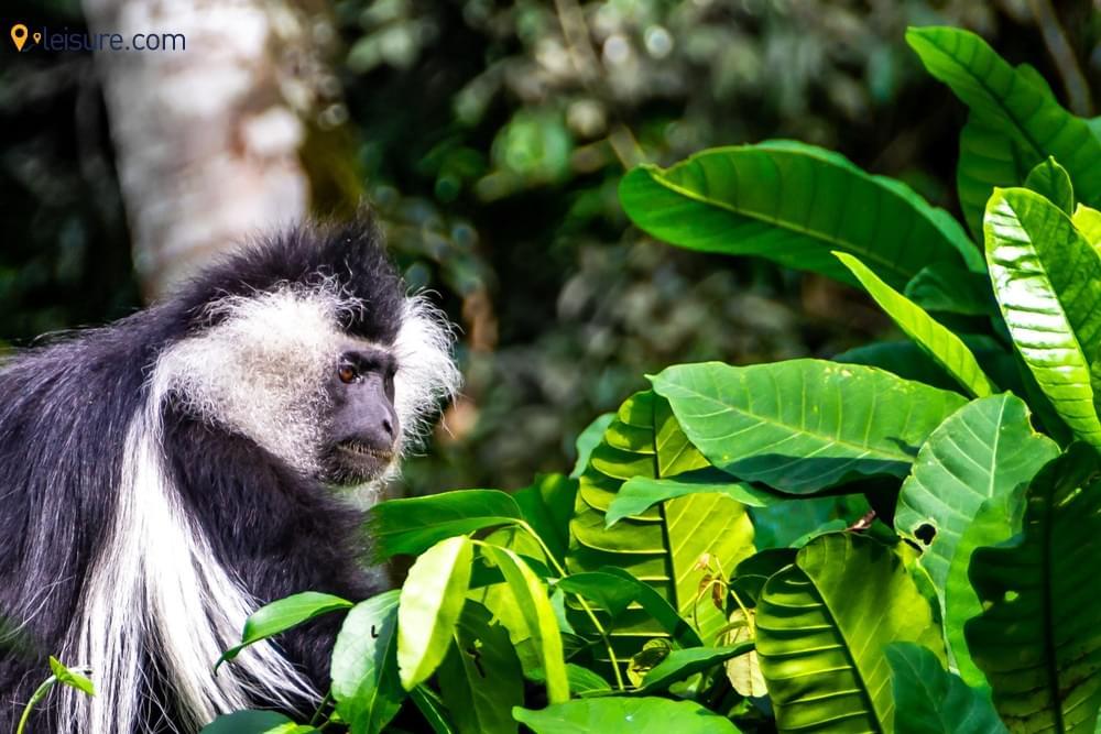 The Incredible Gorilla Trekking saw