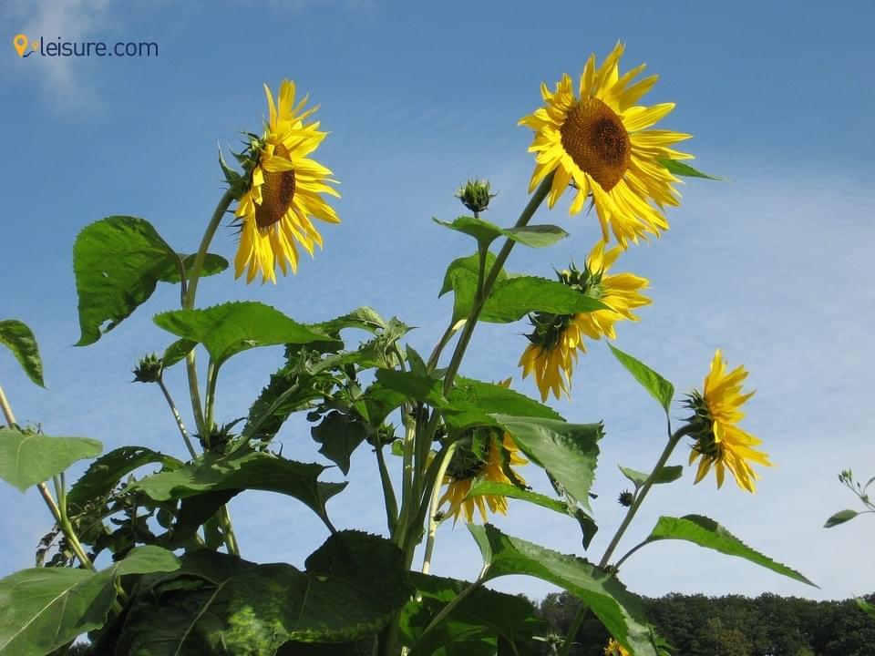 sunflowers eo