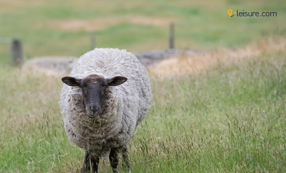 sheep ork