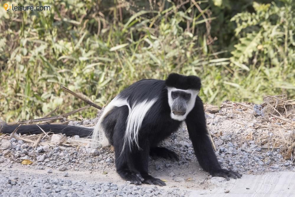 Gorillas and Golden Chimpanzees